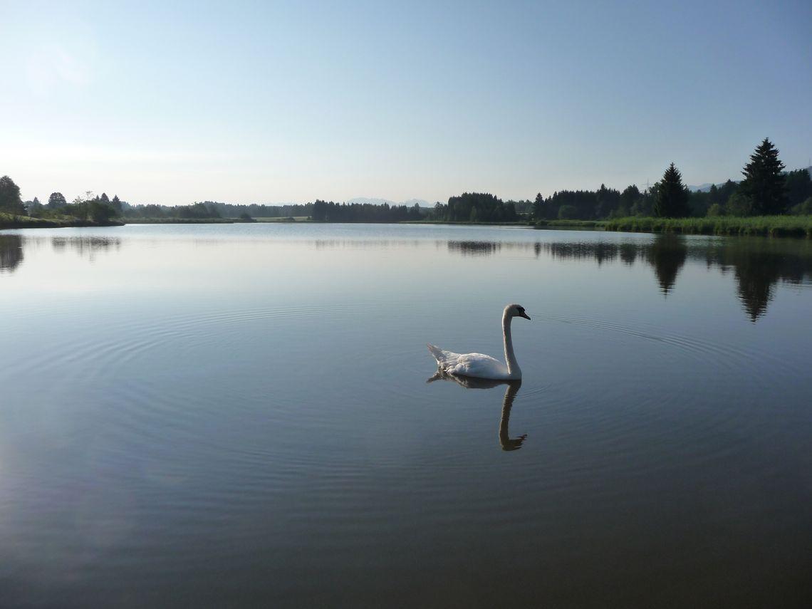 Schwan im See  - © Jens Hornung , Kur- und Tourismusbüro