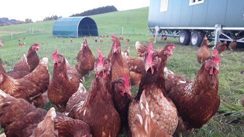 freilaufende Hühner  , Kur- und Tourismusbüro Oy-Mittelberg