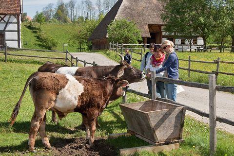 Braunvieh mit Besuchern  - © Tanja Kutter/Bauernhofmuseum , Kur- und Tourismusbüro Oy-Mittelberg