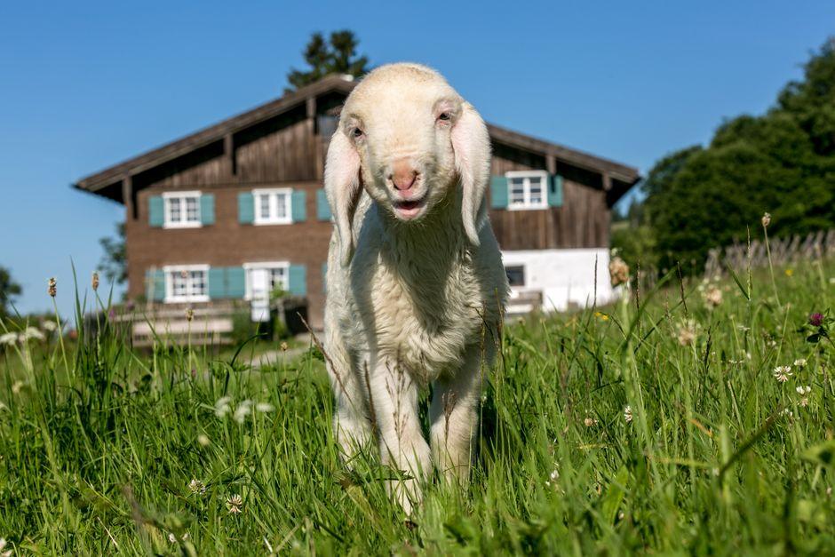 Schaf vor dem Sattler Hof  - © Allgäuer Bergbauernmuseum / Ralf Lienert , Kur- und Tourismusbüro Oy-Mittelberg