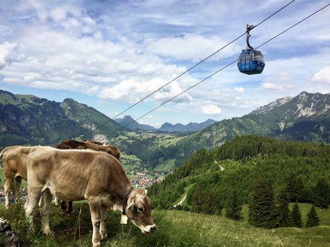 Hornbahn Gondel mit Kuh  - © Hornbahn Hindelang , Kur- und Tourismusbüro Oy-Mittelberg