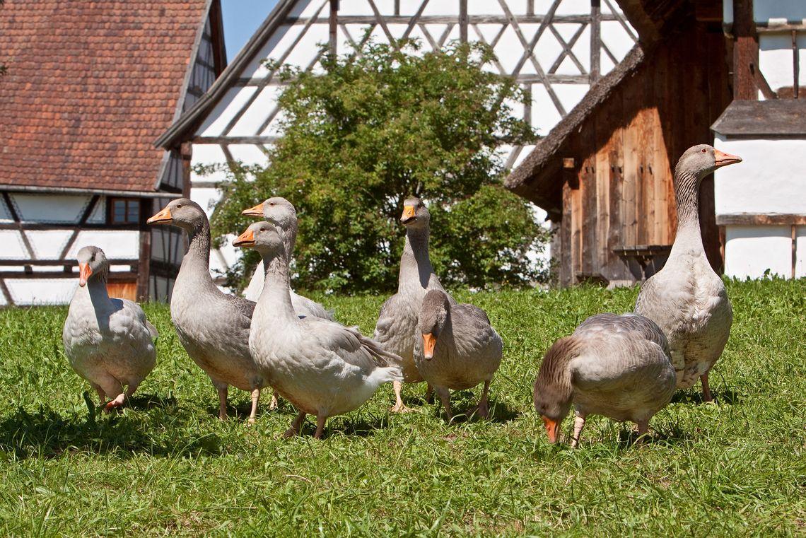 Bayerische Landgans  - © Tanja Kutter/Bauernhofmuseum , Kur- und Tourismusbüro Oy-Mittelberg